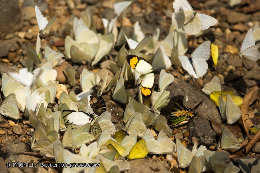 Butterflies gathering at stream-bank (Pala-U)