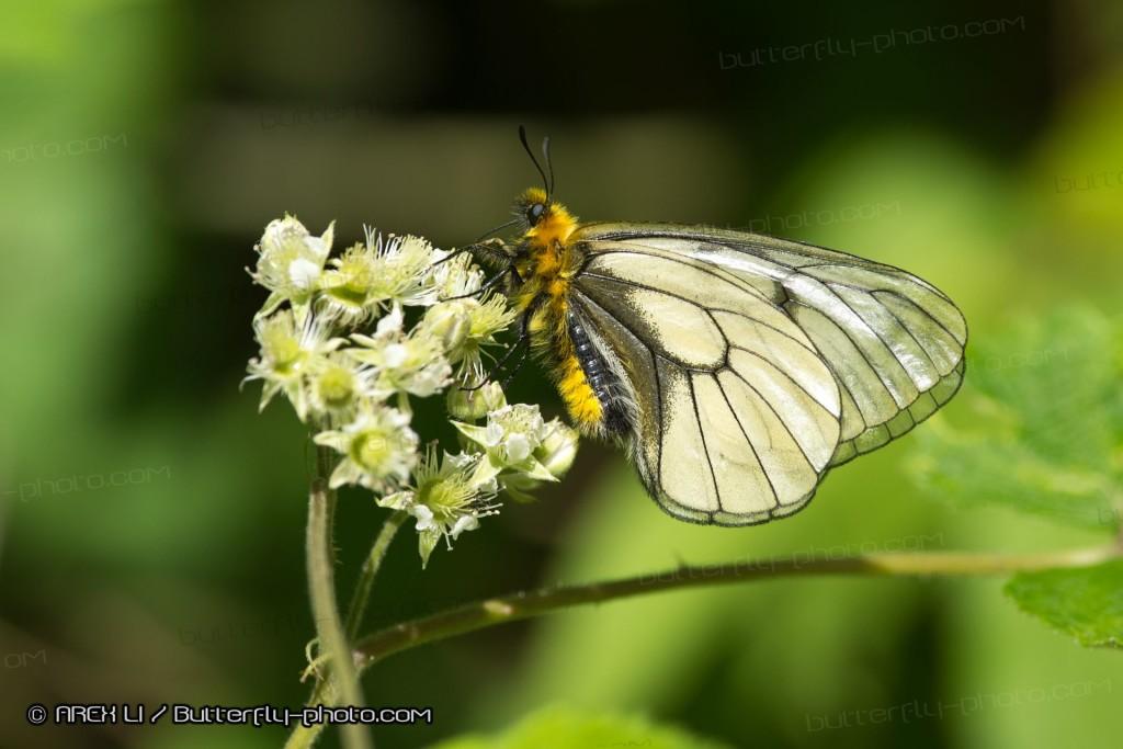 Parnassius glacialis 冰清絹蝶