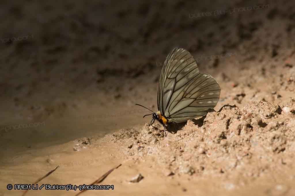 Calinaga davidis 大衛絹蛺蝶