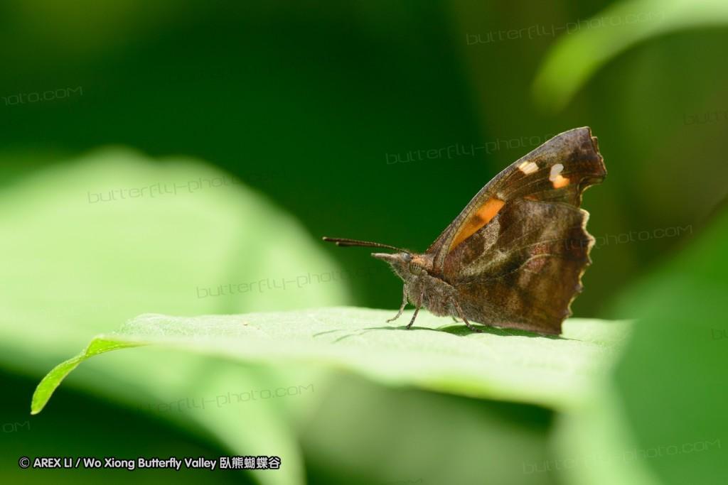 Libythea celtis 朴喙蝶