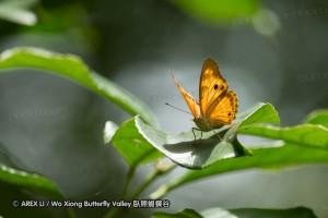 Chitoria chrysolora (金鎧蛺蝶/臺灣小紫蛺蝶)