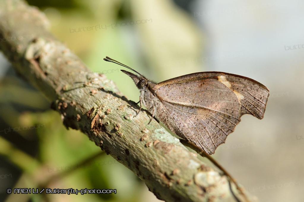 Libythea myrrha 棒紋喙蝶