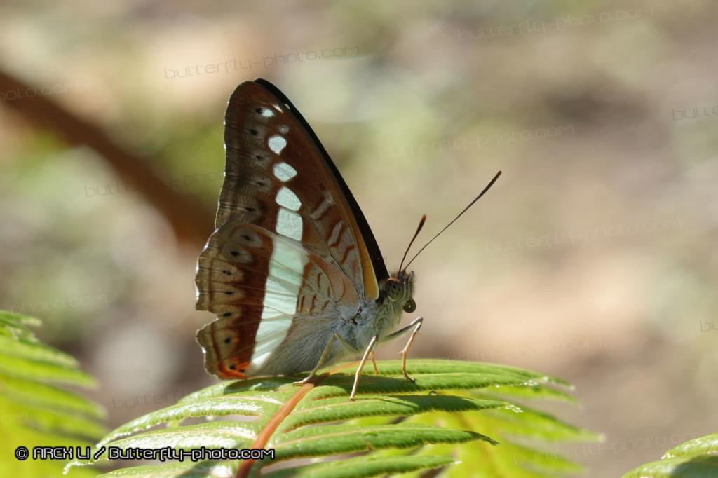 Sumalia daraxa 肅蛺蝶