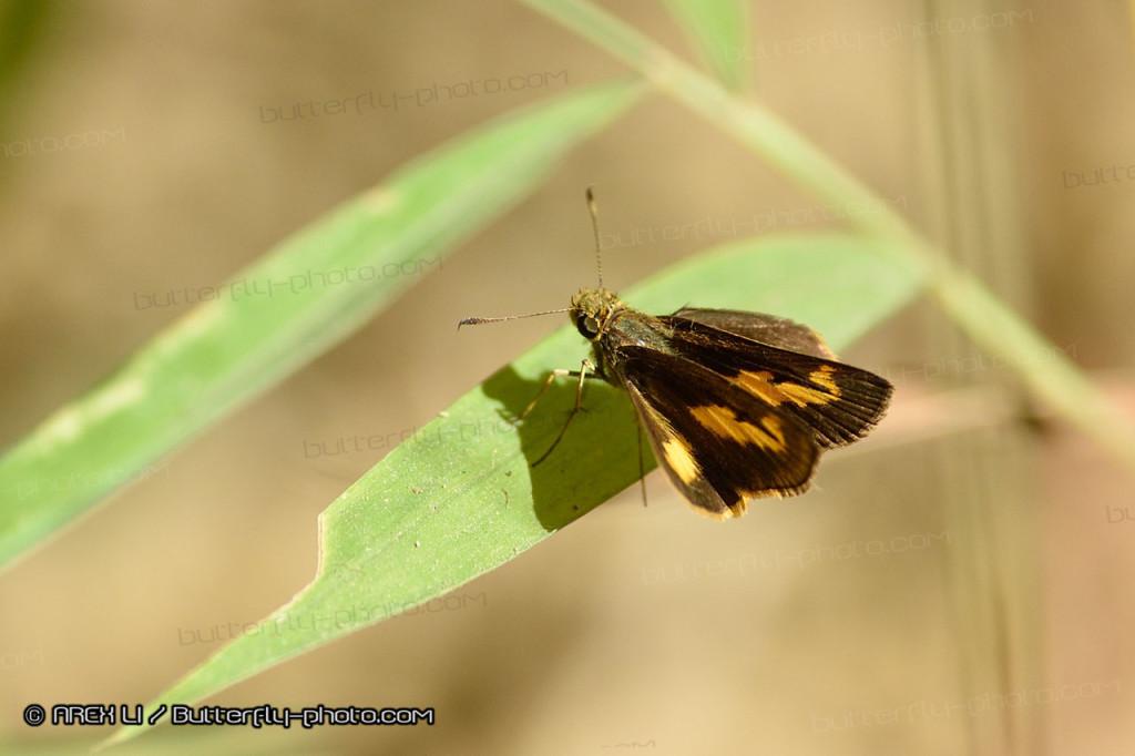 Oriens paragola 黃斑偶侶弄蝶