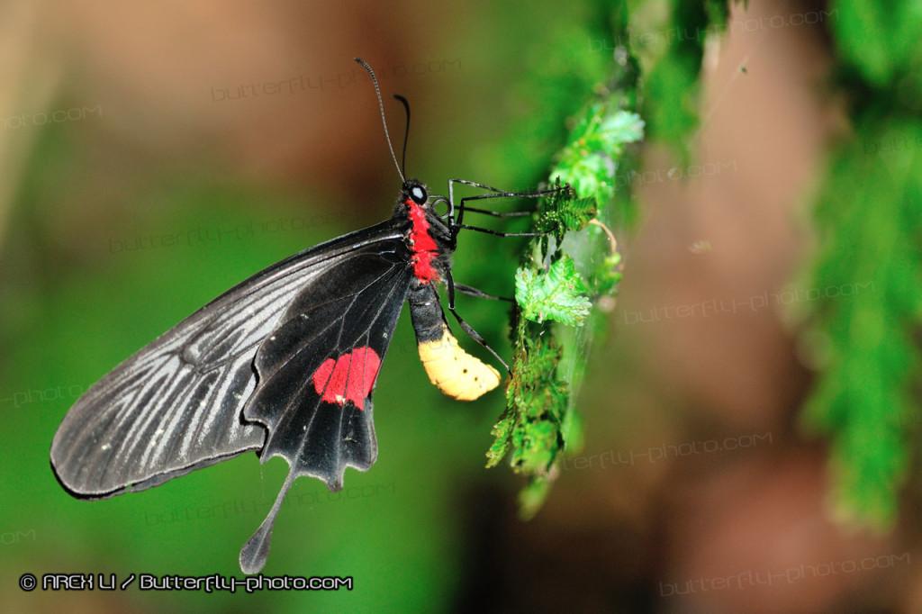 Atrophaneura (Losaria) neptunus 紅斑錘尾鳳蝶
