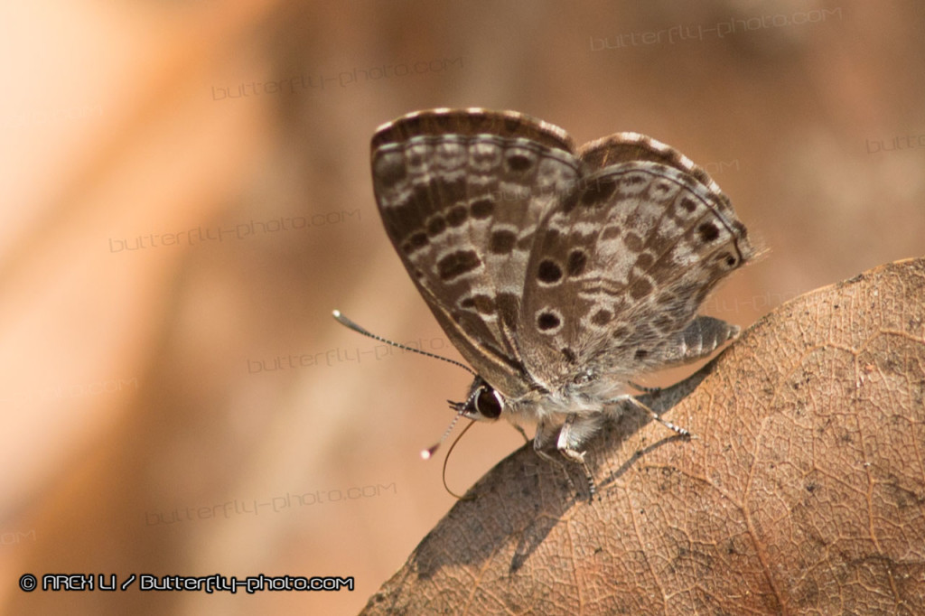 Niphanda asialis 點黑灰蝶