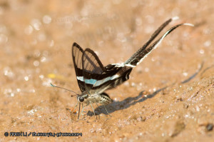 Lamproptera meges 綠帶燕鳳蝶