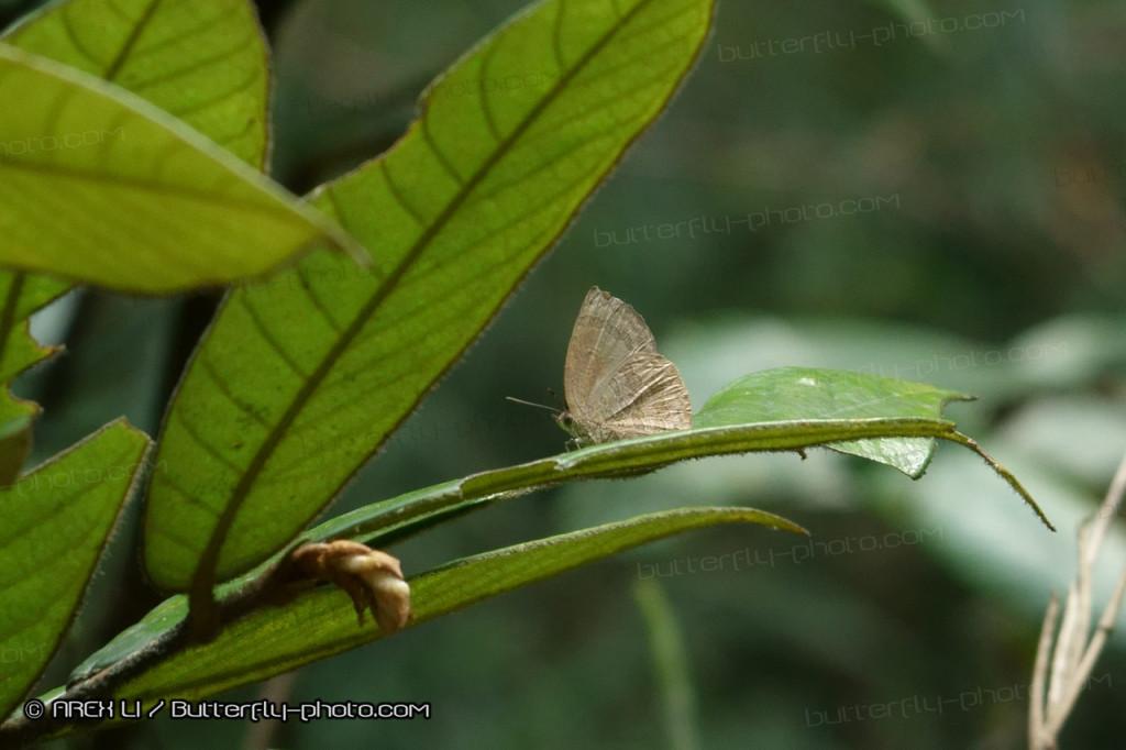 Arhopala paramuta 小嬈灰蝶