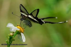 Lamproptera curius 燕鳳蝶