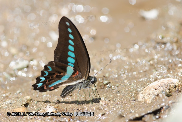 Graphium anthedon milon 青鳳蝶屬