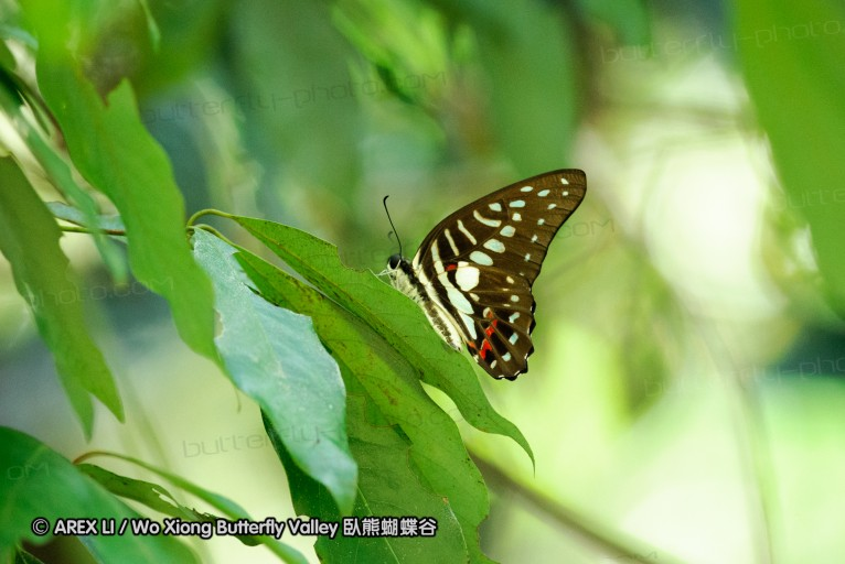 Graphium meyeri 青鳳蝶屬