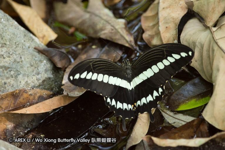 Papilio gigon