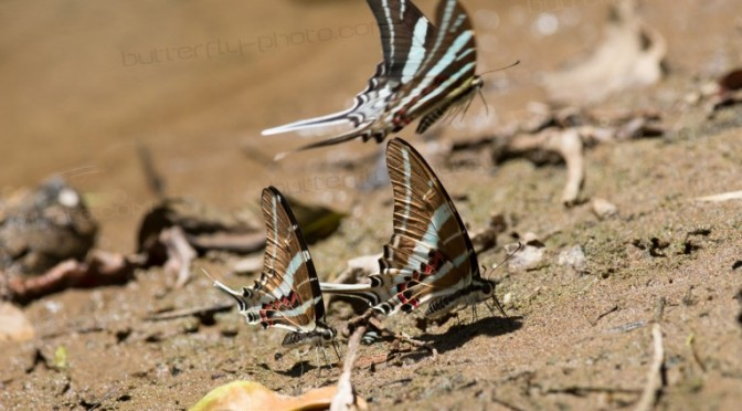 Butterflying in South Sulawesi (1) – Papilionidae