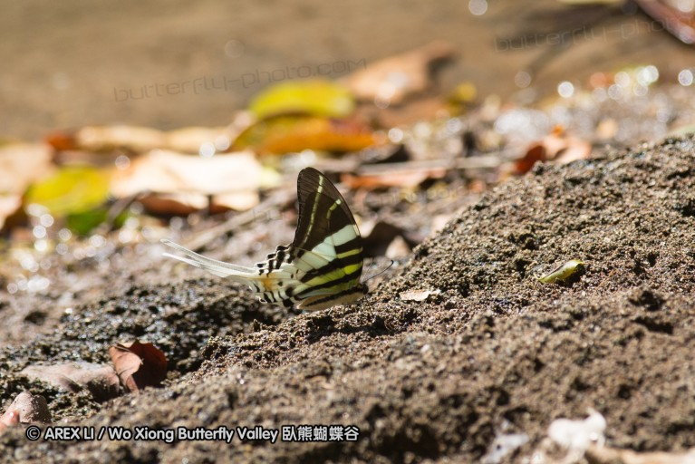 Graphium (Pathysa) androcles 綠鳳蝶屬