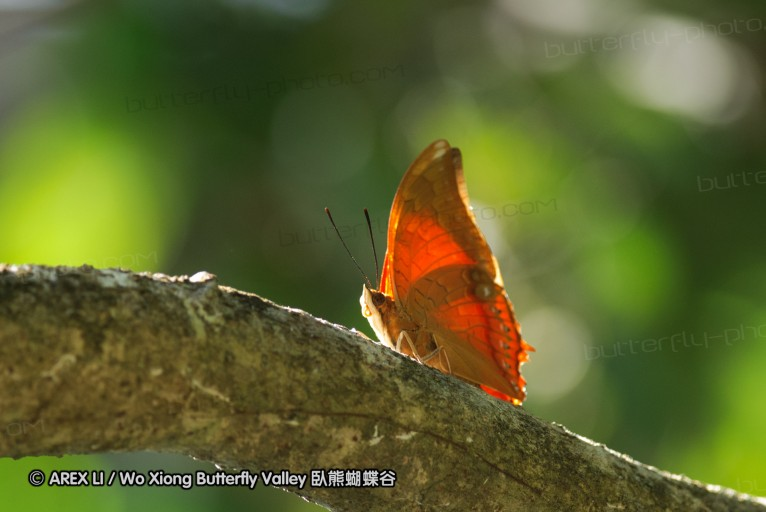 Charaxes affinis 螯蛺蝶屬