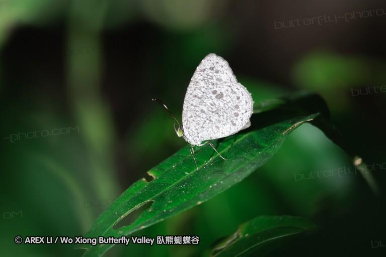 Allotinus macassarensis 銼灰蝶屬