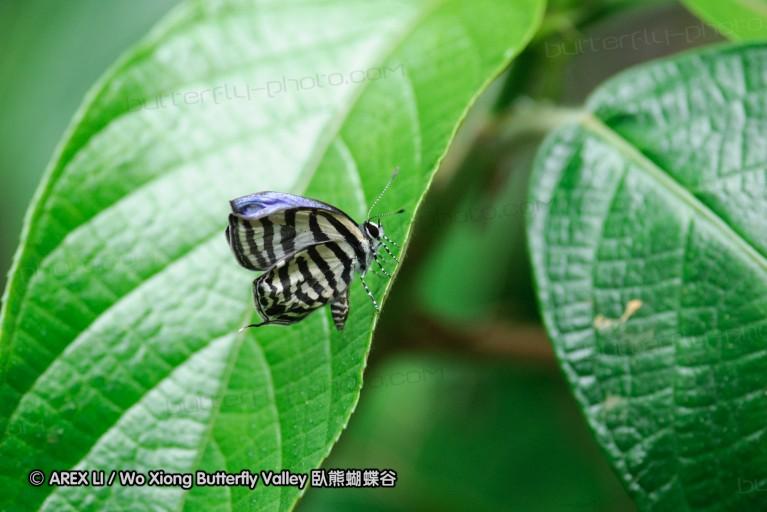 Castalius fasciatus 豹灰蝶屬