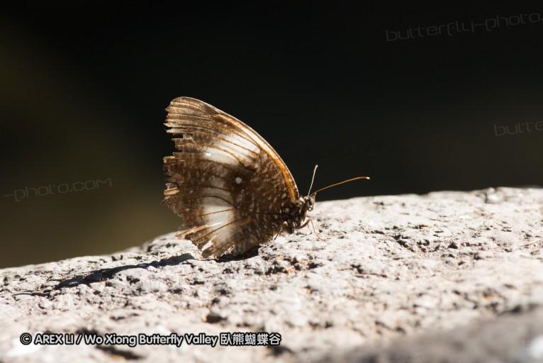 Elymnias hicetas 鋸眼蝶屬
