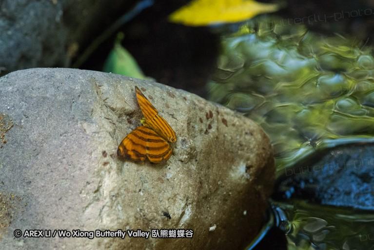 Chersonesia rahria 坎蛺蝶屬