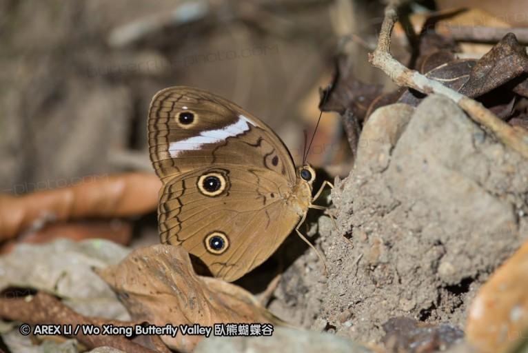 Faunis menado 串珠環蝶屬