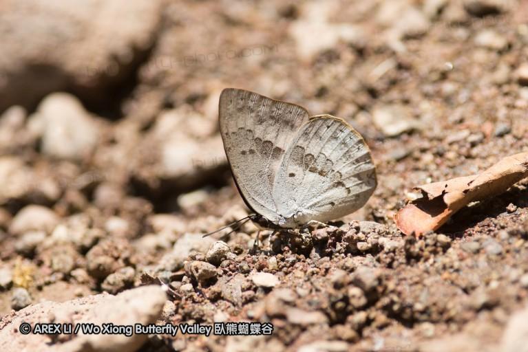 Curetis tagalica 銀灰蝶屬