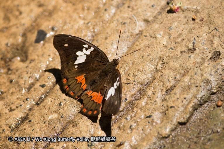 Euthalia amanda 翠蛺蝶屬