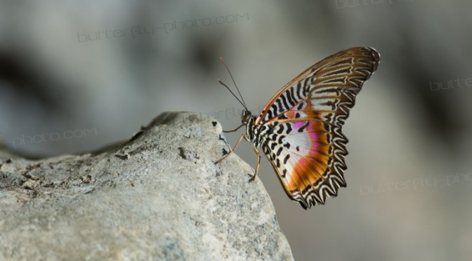 Cethosia myrina 鋸蛺蝶屬