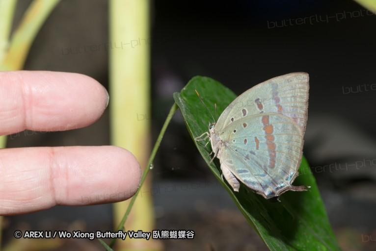 Arhopala hercules 嬈灰蝶屬