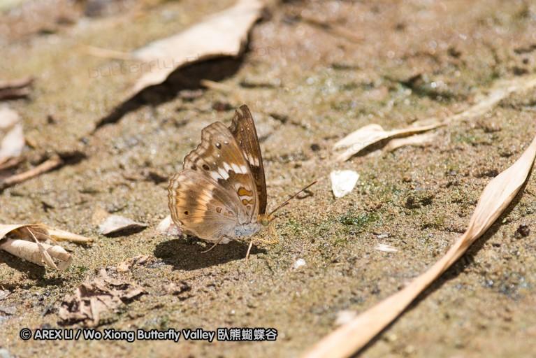 Rohana macar 羅蛺蝶屬